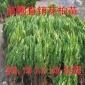 苗圃直销花柏 小花柏 花柏球 规格多低价批发绿化苗木 花柏苗