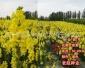 金鱼草 野花组合 花海营造 草花种子 边坡绿化灌木种子 老赵种业