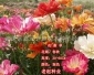 花菱草 野花组合 花海营造 草花种子 边坡绿化灌木种子 老赵种业
