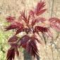 红油香椿种子