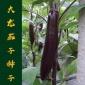 蔬菜种子批发 大龙茄子种子 紫把长茄种子基地高产 原包装1000粒