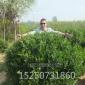 批发大叶黄杨 大叶黄杨球 常绿灌木 规格齐全根系发达易成活苗圃