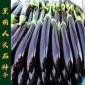 【黑钸莉茄子】长茄种子 紫黑皮 白绿色肉 高产 四季栽培 5克