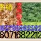 出售:香椿种子   红油香椿种子(保质保量  货到付款)