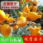 特色蔬菜种批发 四季种植阳台盆栽 进口牛头茄五指茄子种原装20粒